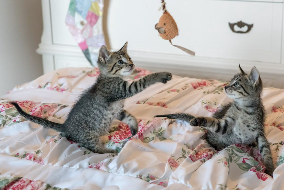 Young kittens playing